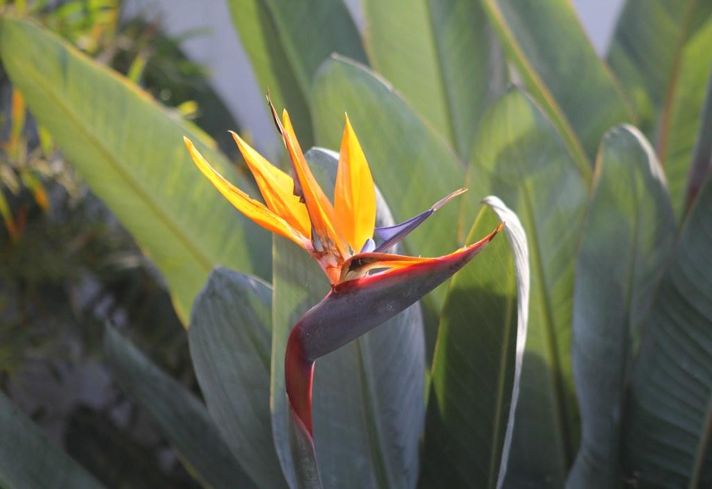 Strelitzia - Bird of Paradise flower