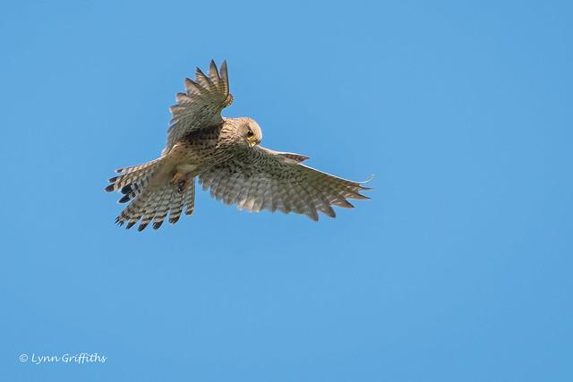 Kestrel hovering 503_3570.jpg