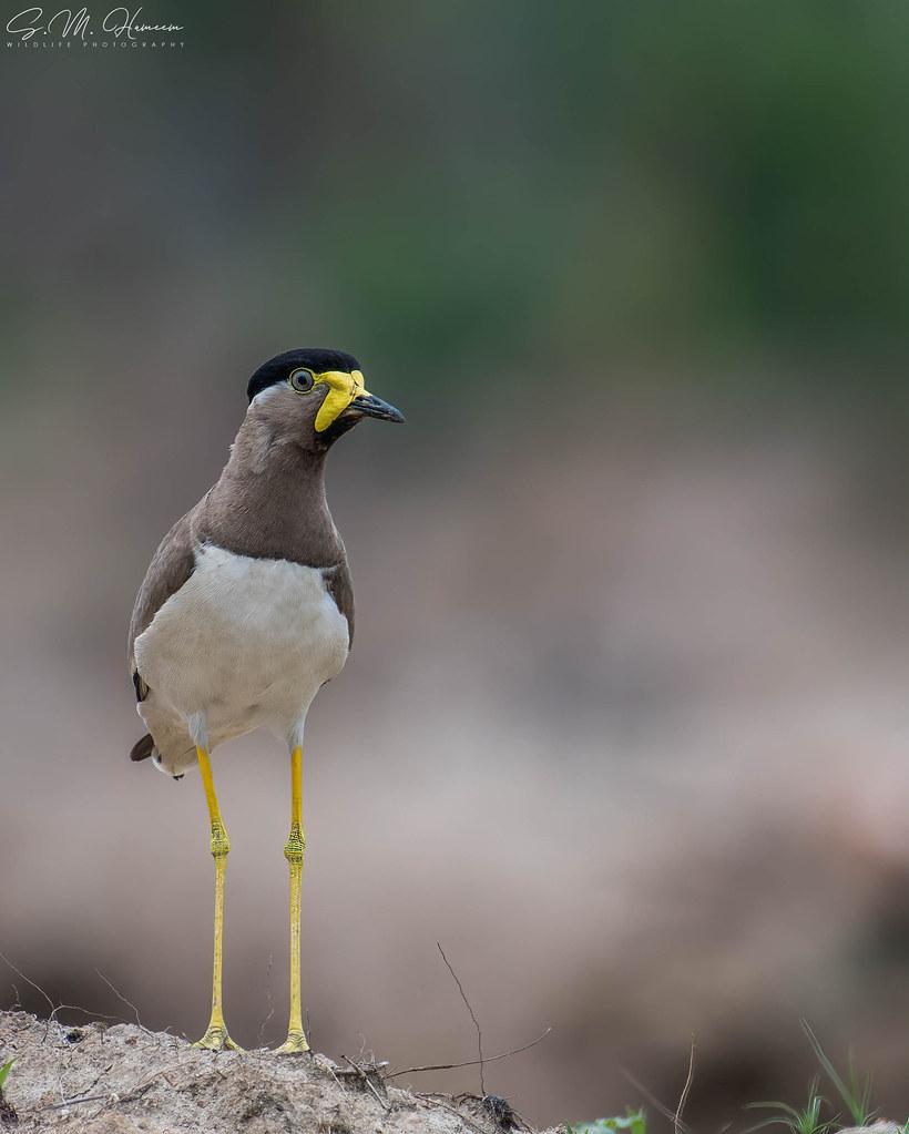 Yellow-wattled Lapwing.