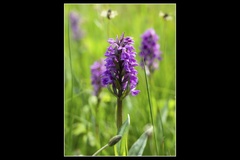 Gerald Pforte; Wo die Orchideen blühen...