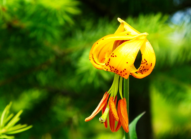 Wild  Tiger Lily of the Enchanted  Forest (Explored June 11, 2021)