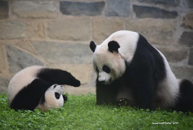 Mei Xiang and Xiao Qi Ji