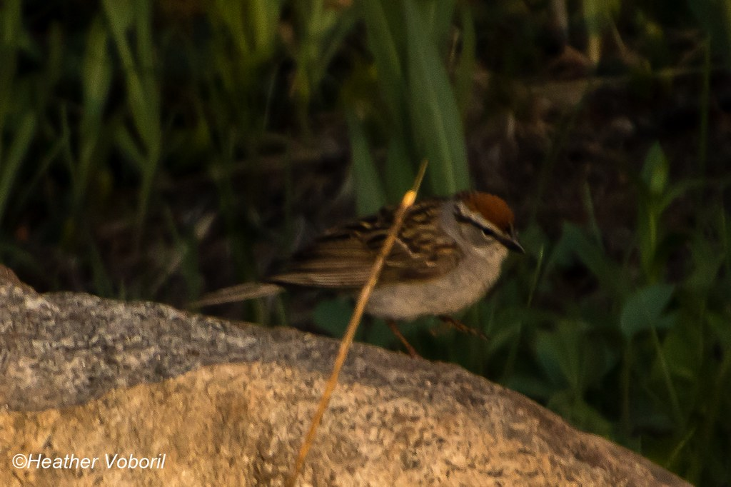 Chipping Sparrow-7892 (1280x852)