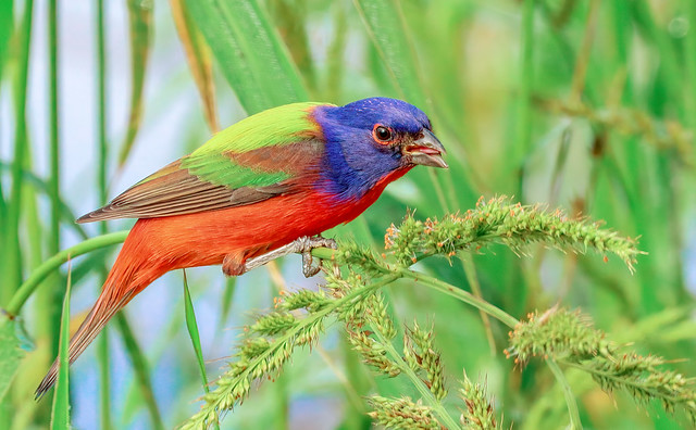 Painted Bunting :)