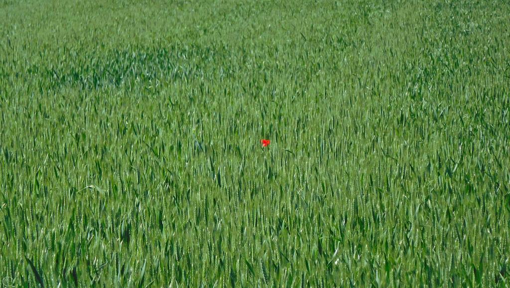 poppy'n grain