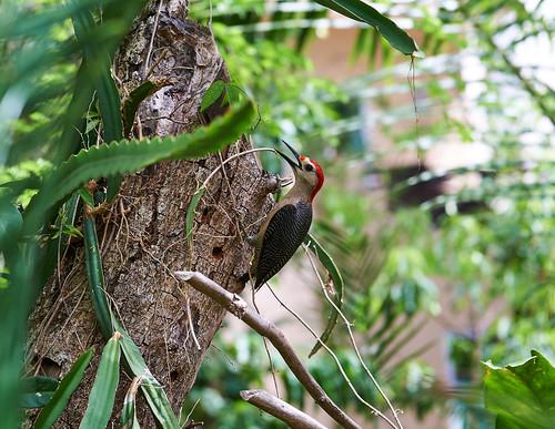 The Yucatan Woodpecker   |  Le Pic du Yucatan