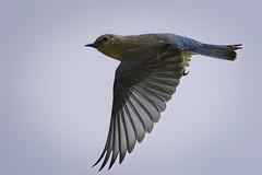 Mountain Bluebird - 2021-001