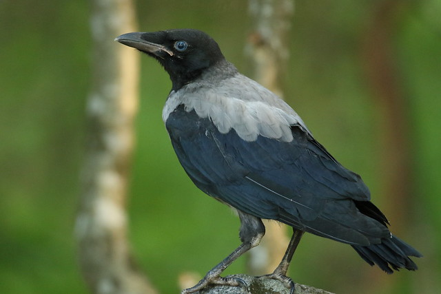 Hooded crow on rock