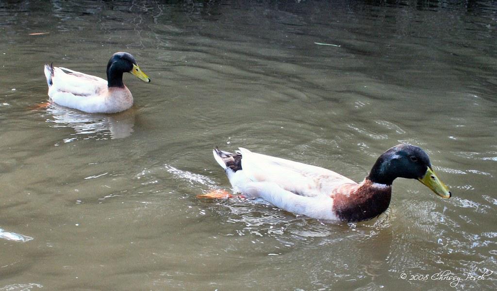 ducks-on-the-yarra