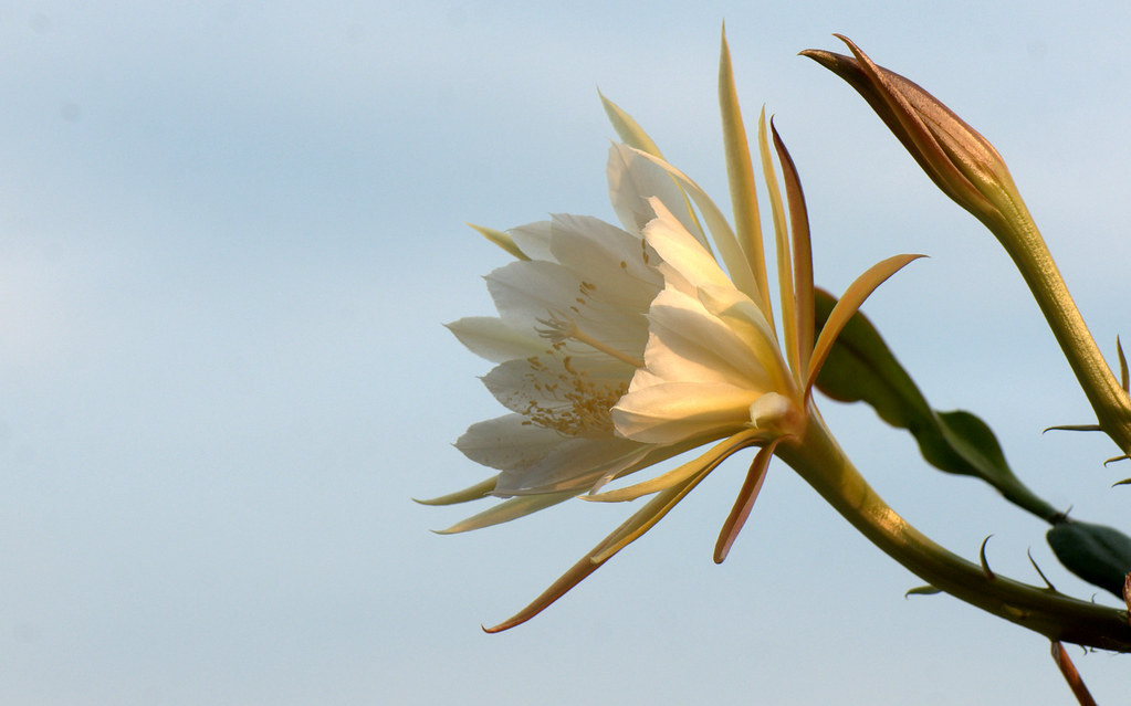 Lady of the night, Dutchman's pipe cactus - LIngua di suocera (Epiphyllum oxypetalum)