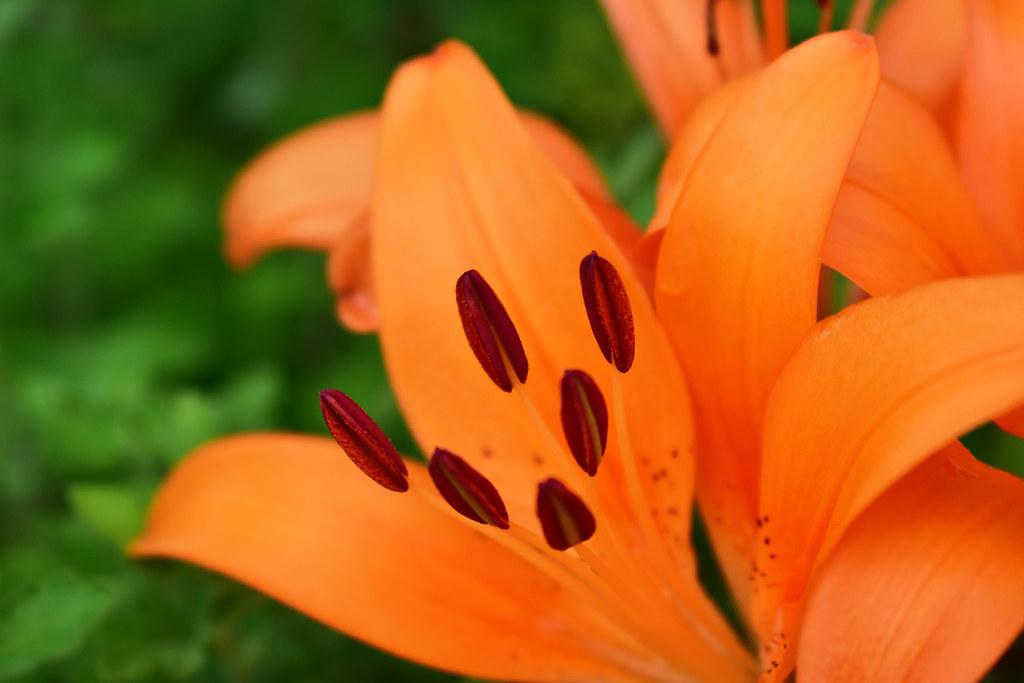 [54/100x] Beautiful Lily.