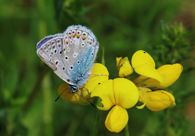 Bläuling -Polyommatus icarus - Hauhechel-Bläuling
