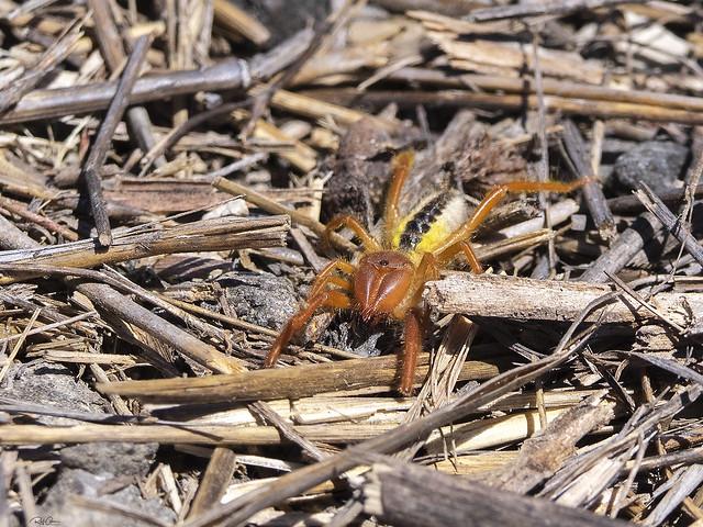 Camel Spider - Galeodes sp.