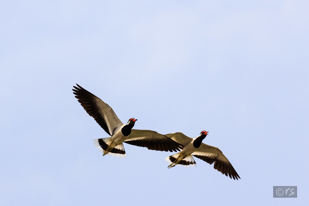 red wattled lapwing flying