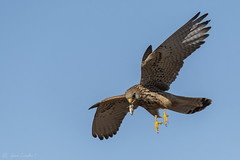 Peneireiro-das-torres | Lesser Kestrel (Falco naumanni) ♀  (由  mamarocarvalho