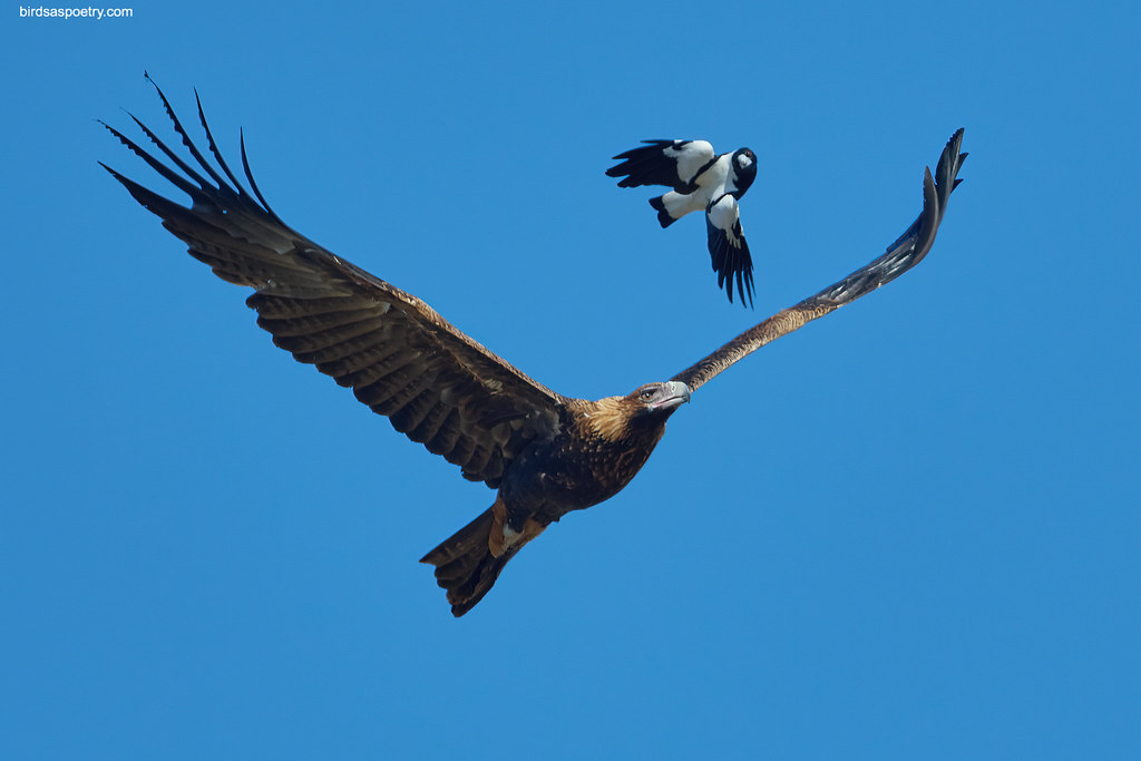 Wedge-tailed Eagle, Australian Magpie: Now we're getting Serious