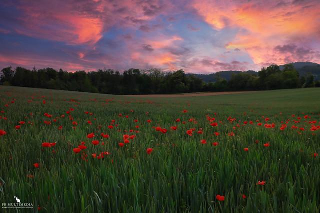 Poppy Field Under A Pink Sky