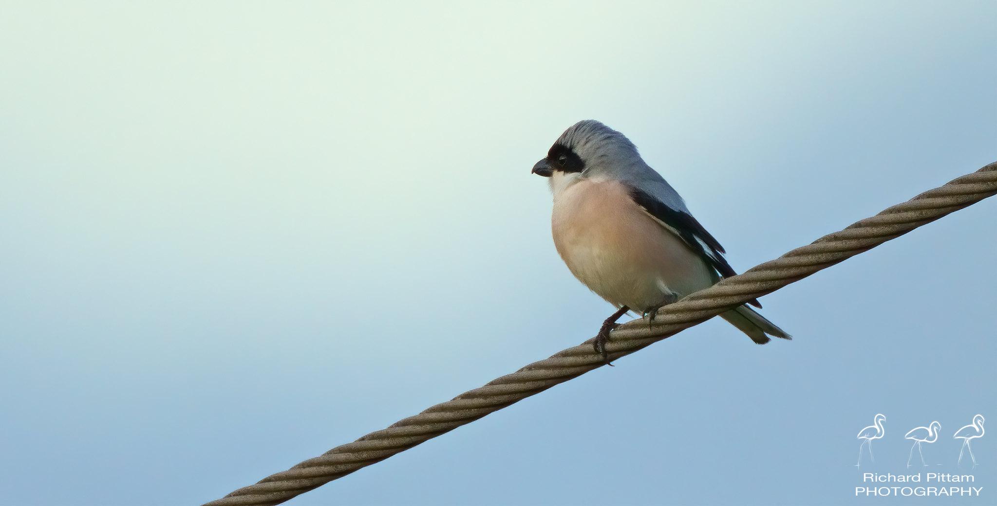 Lesser Grey Shrike - record shots fast-fading evening light
