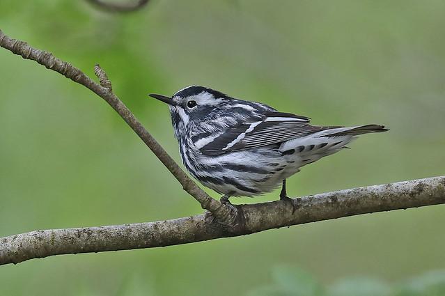 Klifurskríkja-Black and white Warbler-Mniotitla varia