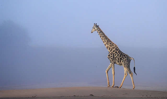 Giraffe at Skeleton coast - Namibia
