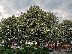 Oxelträd, vid Trevehallens torg, Odenplan, Åkersberga, Österåker.