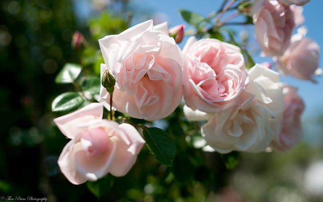James Keller Rose Garden Landscape