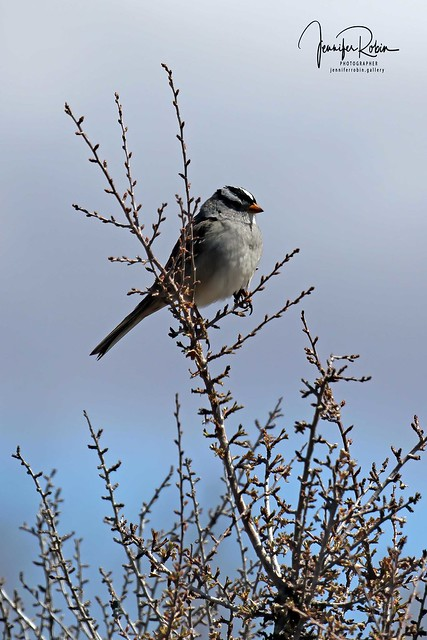 WHITE CROWNED SPARROW ON MEMORIAL HILL