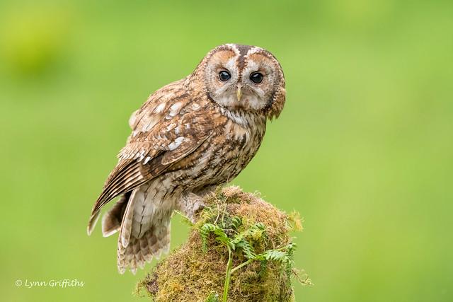 Wild Tawny Owl - no crop required! 850_8182.jpg