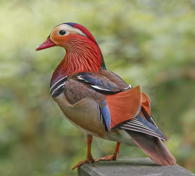 Aix galericulata (canard mandarin, aix mandarin - mandarijneend - mandarin duck - Mandarinente)