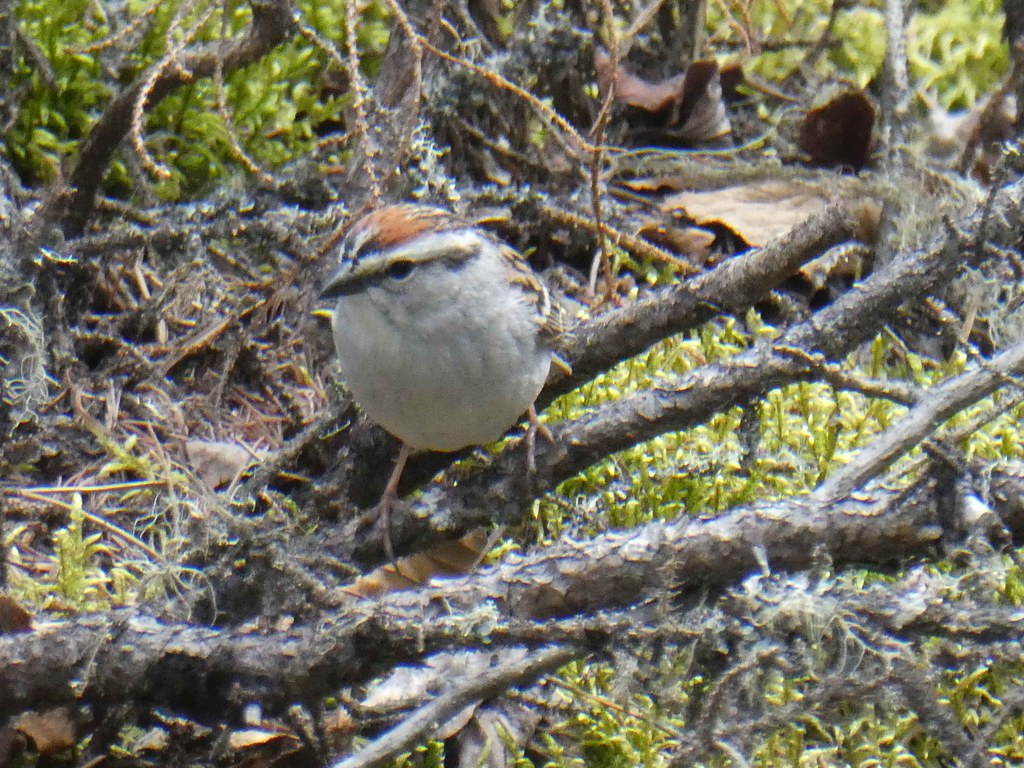 chipping sparrow 2021 0603 1002 P1180097