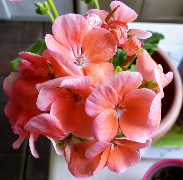 362. Geraniums ! Where ? In our apartment ! !