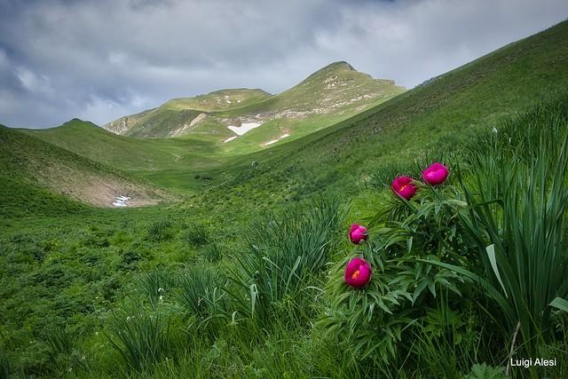 Peonie nel Parco Nazionale dei monti Sibillini