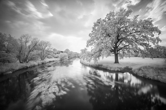Oak Tree next to the river Bode | Hohenerxleben