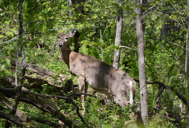 / \ Deer Friend Defined / \
