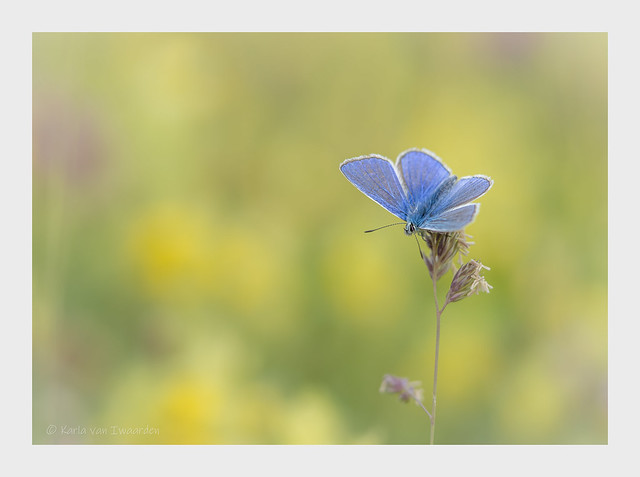 Icarus Blauwtje /Common Blue