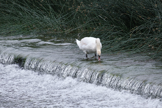 Swan on Weir