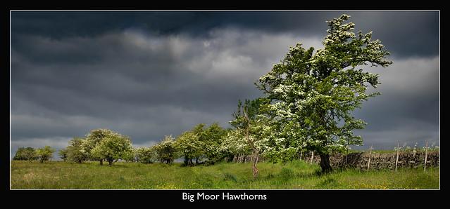 Big Moor Hawthorns 12062021 (explored)