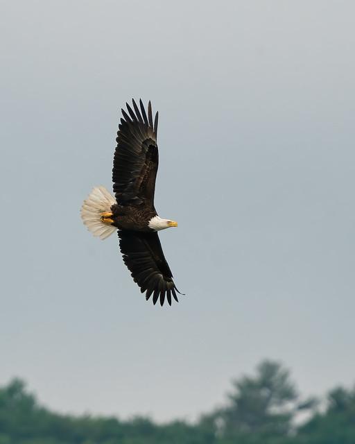 Eagle Over the Lake