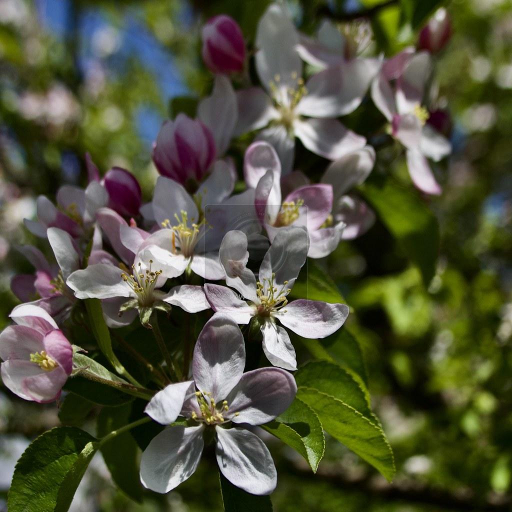 Toronto Ontario ~ Canada ~ Edwards Gardens ~ Botanical Garden ~  Cherry Blossoms