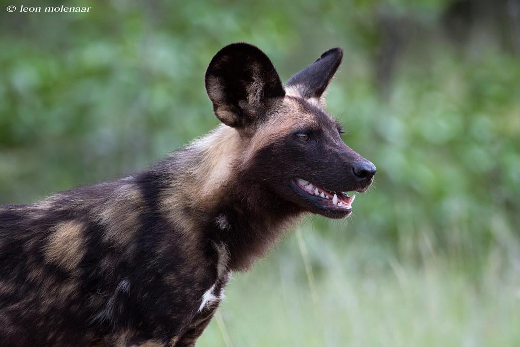 African Wild Dog (Explore)