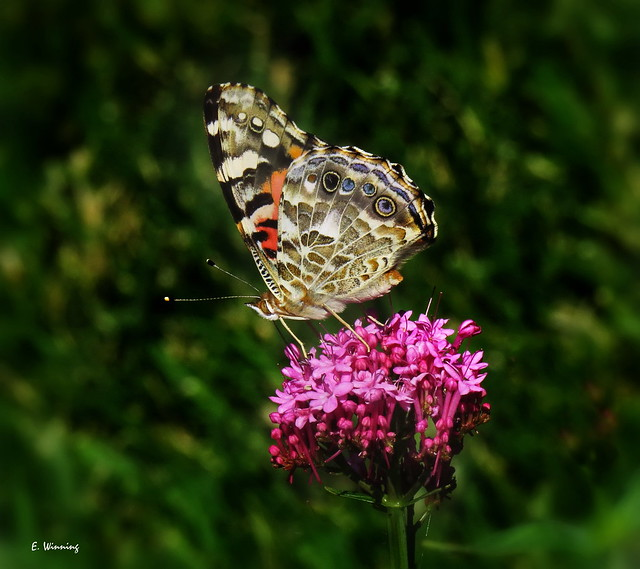 Painted Lady on Arum Lily 0613