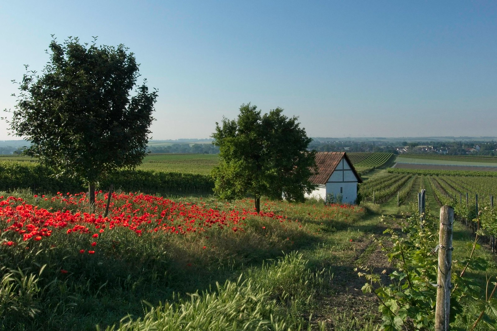 Wingertshäuschen mit Mohnblumen - SunriseHike am Selzbogen in Rheinhessen