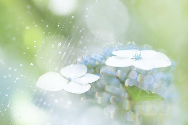 Hydrangea after the rain