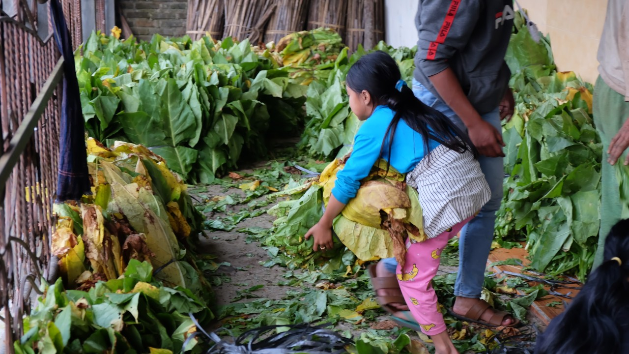 A child working with tobacco leaves