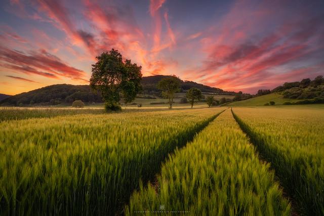 walking in the golden field