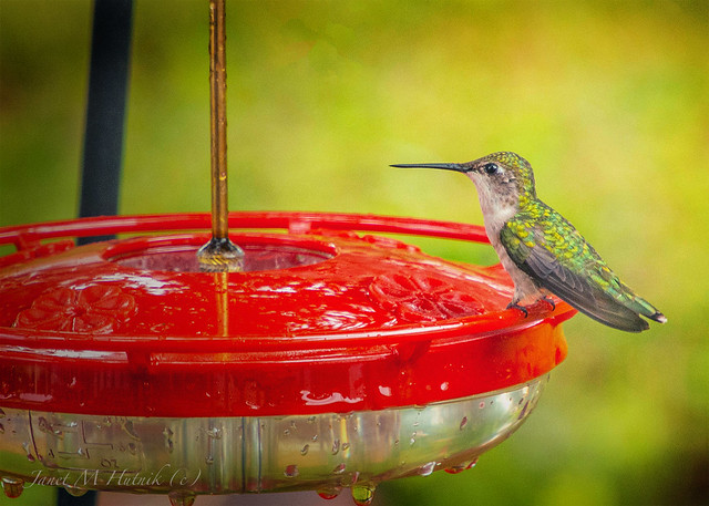 My Pet Hummingbird