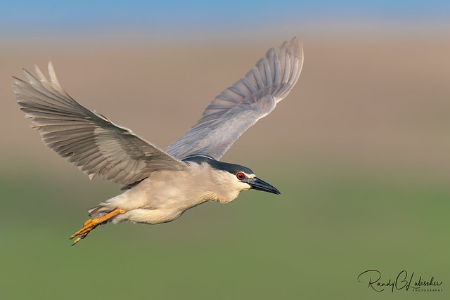Black-crowned Night Heron | Nycticorax nycticorax | 2021 - 3