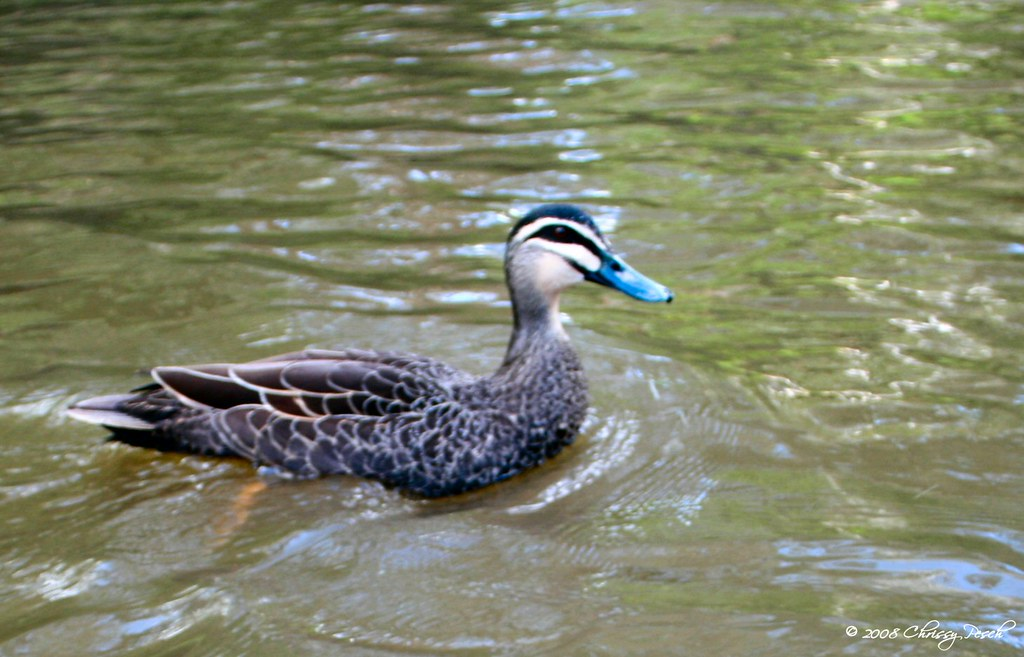blue-beak