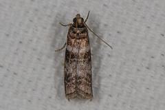 Sweetgum Leafroller Moth