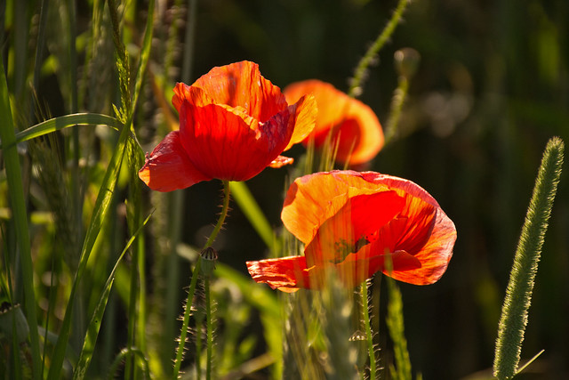 Poppy and grass